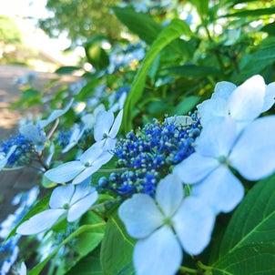 紫陽花とあじさいの画像