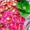 紫陽花の鉢植え の画像