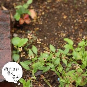 雨降る日に咲く星 ユウゲショウの画像