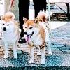 マルワジム横浜 柴犬の画像