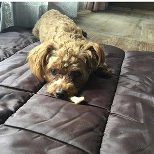 犬の食レポ:犬がお気に入りの場所で味わうサクサクの手作りクッキーの画像