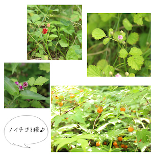 野イチゴ3種のご紹介♪の画像