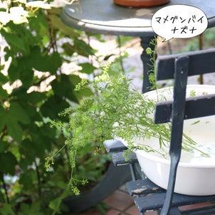 インテリアグリーンにおすすめマメグンバイナズナの画像