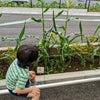 毎日観察!保育園での野菜づくりで食育体験☆の画像