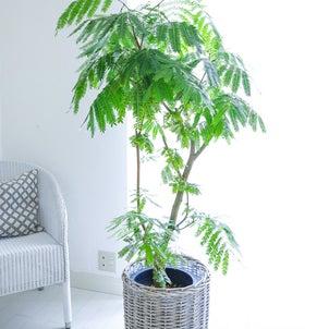 ★観葉植物エバーフレッシュをリビングに♪(インテリアと暮らしのヒントより)の画像