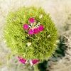 花の咲いた「てまり草」♡の画像