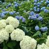 【北海道民による夏の北海道旅②】あじさい園(小樽貴賓館):小樽市の画像