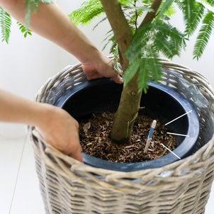 ★大型観葉植物が枯れる原因 ! 水やりの頻度がわからない (インテリアと暮らしのヒントより)の画像