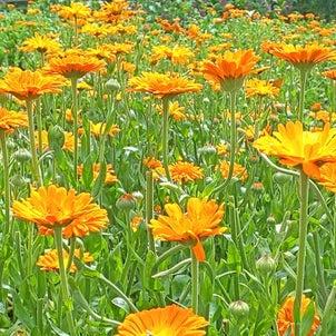 カレンデュラ満開…ハーブ畑より。白い?カレンデュラも咲きました!の画像