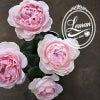 バラ エレガントドレス【花屋の花図鑑】の画像