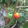 ミニ菜園トマトの画像
