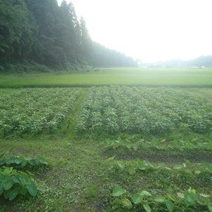 今年は大豆も植えてるよの画像