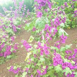 マロウブルーが咲き乱れています…ハーブ畑より。の画像