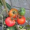 #ミニトマト国産化に成功の画像