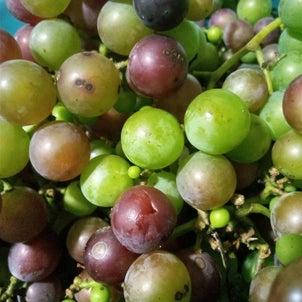 スマホ問題と カラスから奪い取ったブドウの話の画像