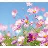 秋桜の画像