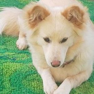 【解決・迷子犬】荒川区町屋から逸走~尾久の原公園 中型MIX♀うす茶11キロ の画像