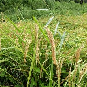 秋の稲刈りに・・の画像
