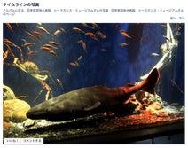 深海ザメ「オンデンザメ」沼津港深海水族館で公開 生きたままは世界初