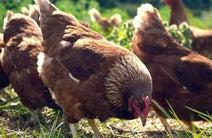 ソーラーパワーでニワトリの産卵を促す、世界初の養鶏向けLED照明