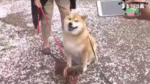 大久保佳代子 柴犬まると愛犬パコ美のお花見散歩で「母」の顔