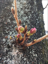 桜の開花が間近、気象予報士も桜・花見に言及