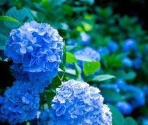 紫陽花に美容効果なんてあるの?お部屋の湿気取りで髪もまとまる?