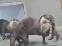 サンシャイン水族館でコツメカワウソの赤ちゃん誕生! 白くてちっちゃな生後姿が見られる子育て動画も公開中