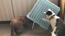 なんて猫の本能を突いてるんだ…! カゴが好きすぎて自ら罠にハマりにいく猫の様子をご覧ください