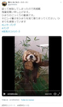 レッサーパンダがこっくりうたた寝した結果→「絶妙なバランス感覚」「たれぱんだ」