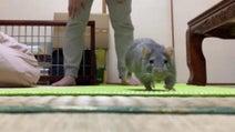 全力でボールを追いかけるねずみの動画に10万超えいいね 「なんて愛らしい」「犬猫みたい」