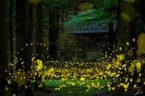 「光の川」が流れてるみたい...  たくさんのホタルが舞い踊る夜の神社が圧倒的に美しい