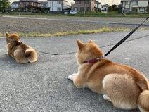 後ろに並びたくなっちゃう...! 仲間の到着をペタッと座って待機する柴犬行列がかわいすぎる