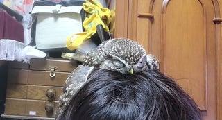 飼い主さんの頭の上で寝るフクロウ…羽を広げて暖を取る姿に「かわいい~」の声