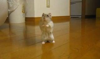 飼い主さんと遊ぶのが好きなハムスター、立ち歩きで追いかける姿がたまらない可愛さ