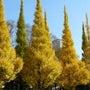 外苑前の 銀杏並木が…