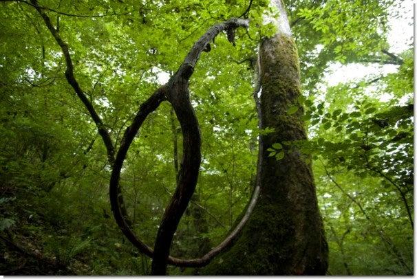 枝が曲がった木