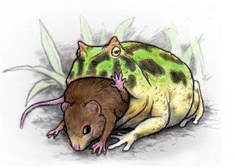 ネズミを喰らうベルツノガエル