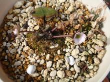 『雪割草の育て方』雪割草の達人のブログ