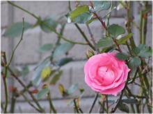 2888薔薇
