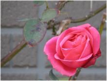 2893薔薇