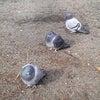 身を丸める鳩の画像