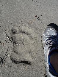 熊の足跡…そんなに大きくはない