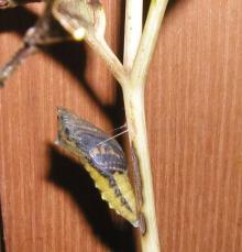 キアゲハの蛹(最終段階)