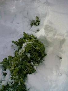 大根雪の中3