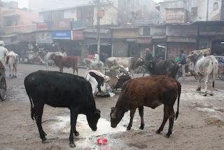 世界一小さな声で語られる世界に聞こえるひとりごと-牛に囲まれる