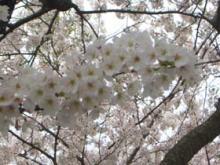 2008海津大崎桜