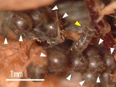 ゲンジボタルの卵と幼虫