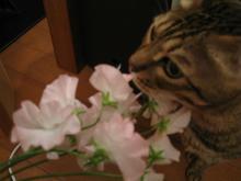 ネコ想う-スイートピー