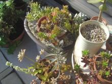 紅葉始まる多肉植物